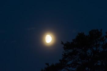 Kuun siitepölykehä (kuusensuopursuruoste)
