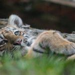 Amurin tiikerin pentu pötköttää