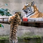 Amurin tiikerin pentu kurottelee