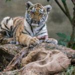 Amurin tiikerin pentu ja ateria