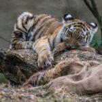 Amurin tiikerin pentu ruokailee