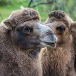 Kaksikyttyräisiä kameleita