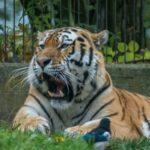 Amurin tiikeri