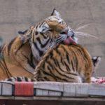 Amurin tiikeriemo hoivaa pentua