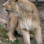 Leijona - uusi tulokas