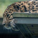Leopardi loikoilee