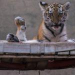 Amurin tiikerin pennut