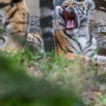 Amurin tiikerin pentu