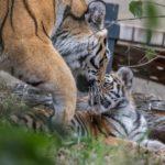 Amurin tiikerin pentu ja emo