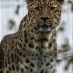 Leopardi tarkkailee tiikereitä