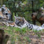 Amurin tiikerin pennut painivat