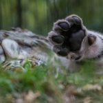 Amurin tiikerin pentu vilkutti hyvästiksi!